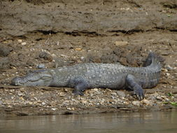 Image of Broad-snouted Crocodile