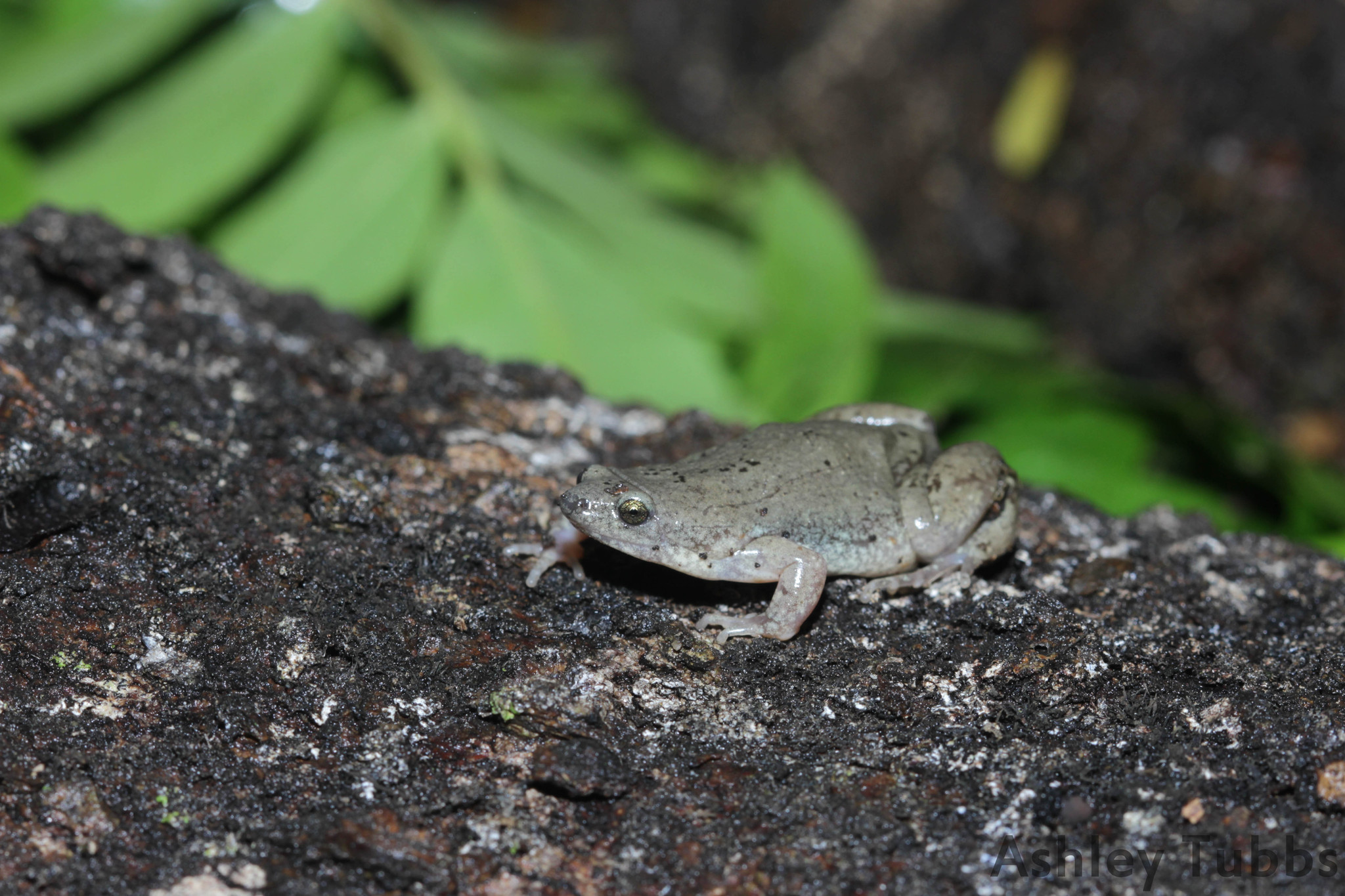 Image of Great Plains Narrowmouth Toad