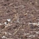 Image of Mountain Plover
