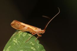 Image of <i>Limnephilus lunatus</i> Curtis 1834