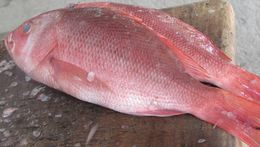 Image of Pacific red snapper