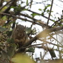 Image of Ochre Bush Squirrel