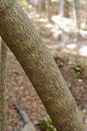 Image of <i>Paulownia tomentosa</i>