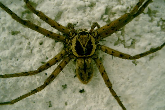 Image of huntsman spider