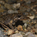Image of Brown Froglet