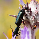 Image of Red-eared Blister Beetle