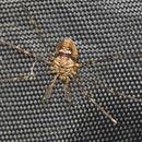 Image of <i>Dicranopalpus ramosus</i>