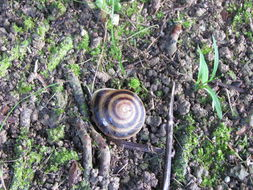 Image of Banded caracol