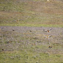 Image of Great Bustard