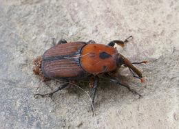 Image of <i>Rhynchophorus ferrugineus</i>