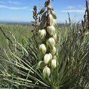 Image of <i>Yucca glauca</i>
