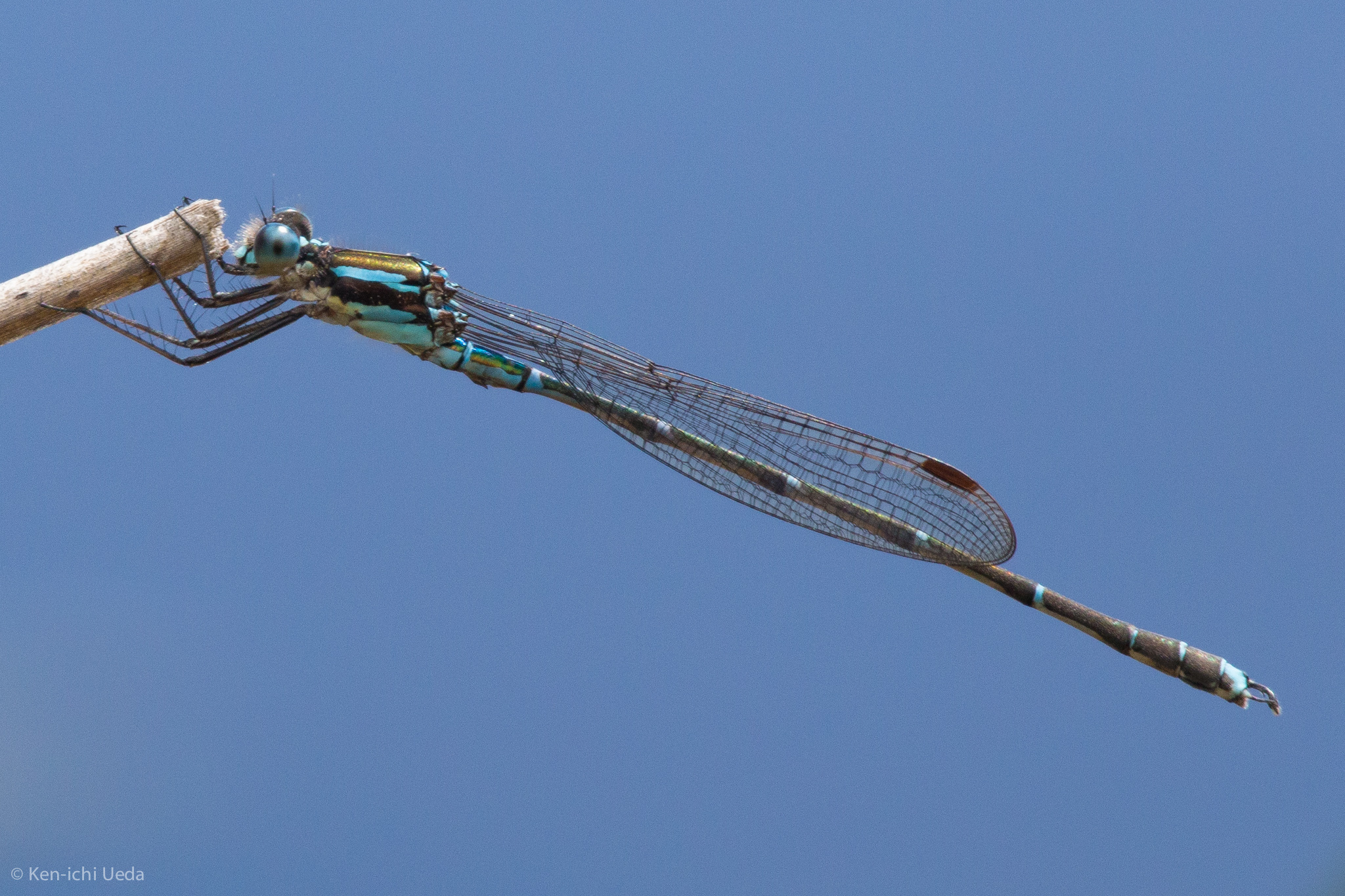 Image of Blue Damselfly