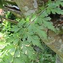 Image of <i>Asplenium aethiopicum</i>