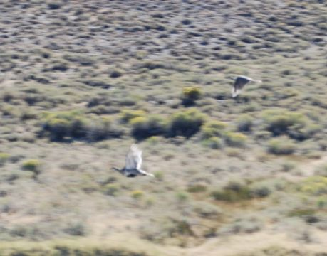Image of Greater sage grouse