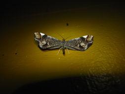 Image of <i>Macrosoma cascaria</i> Schaus 1901