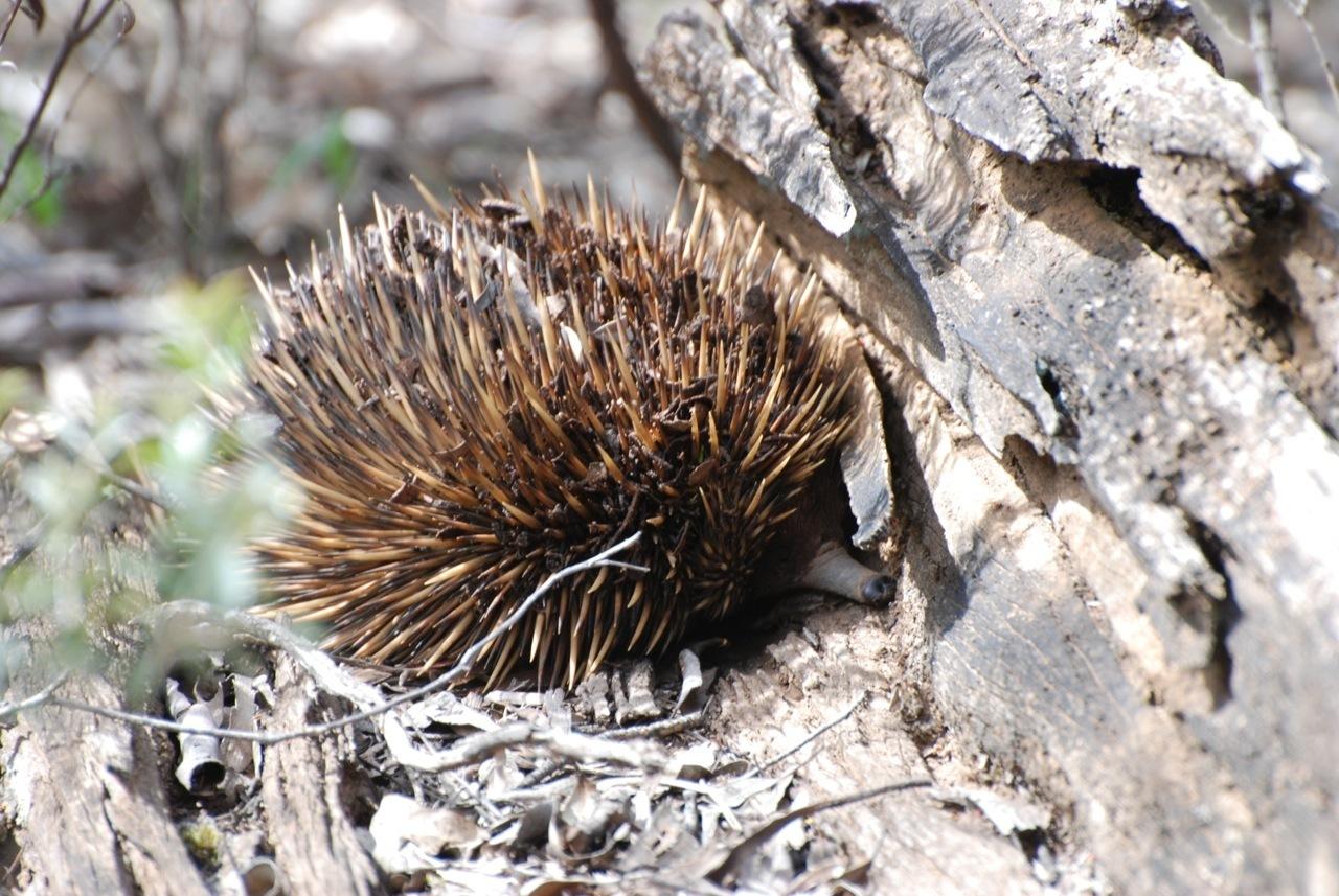 Image of Kangaroo Island Echidna