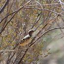 Image of Western Bowerbird
