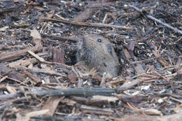 Image of Botta's Pocket Golpher
