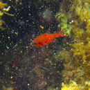 Image of Cardinal Fish
