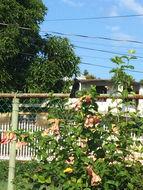 Image of Greater Antillean Grackle