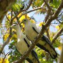 Image of Torresian Imperial-Pigeon