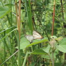 Image of Veined White-Skipper