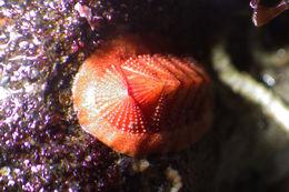 Image of <i>Lepidozona mertensii</i> (Middendorff 1847)