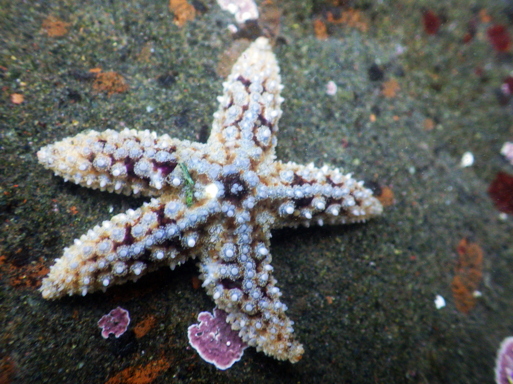 Image of Giant sea star