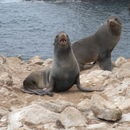 Image of Northern Fur Seal