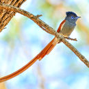 Image of African Paradise-Flycatcher