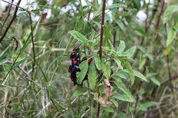 Image of Florida Predatory Stink Bug