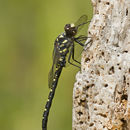 Image of Black Petaltail