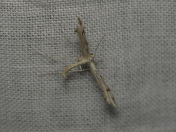 Image of <i>Platyptilia celidotus</i>