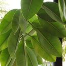 Image of <i>Ficus elastica</i>