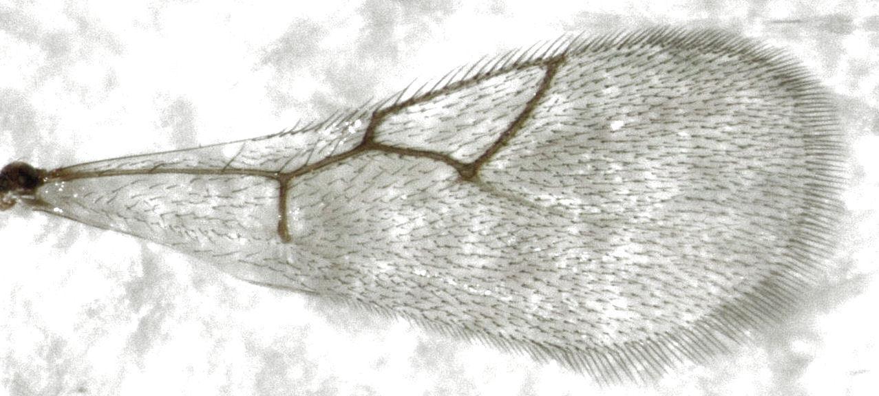 Image of <i>Leptopilina heterotoma</i> (Thomson 1862)