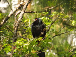 Image of Pacific Koel