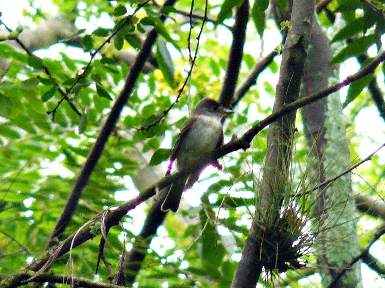 Image of Eastern Wood-Pewee