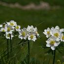 Image of <i>Anemone narcissiflora</i>
