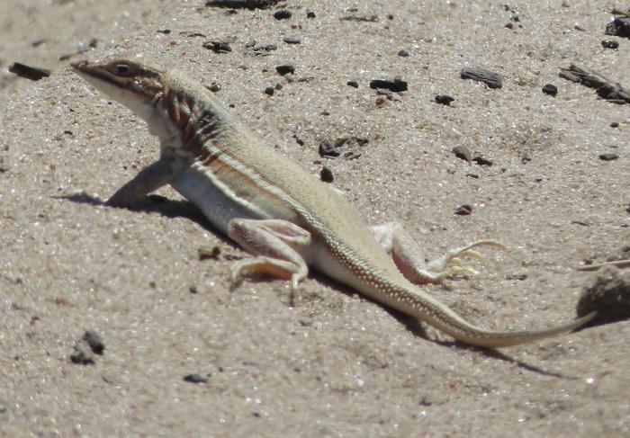 Image of Smith's Desert Lizard