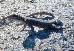 Image of Karoo Girdled Lizard