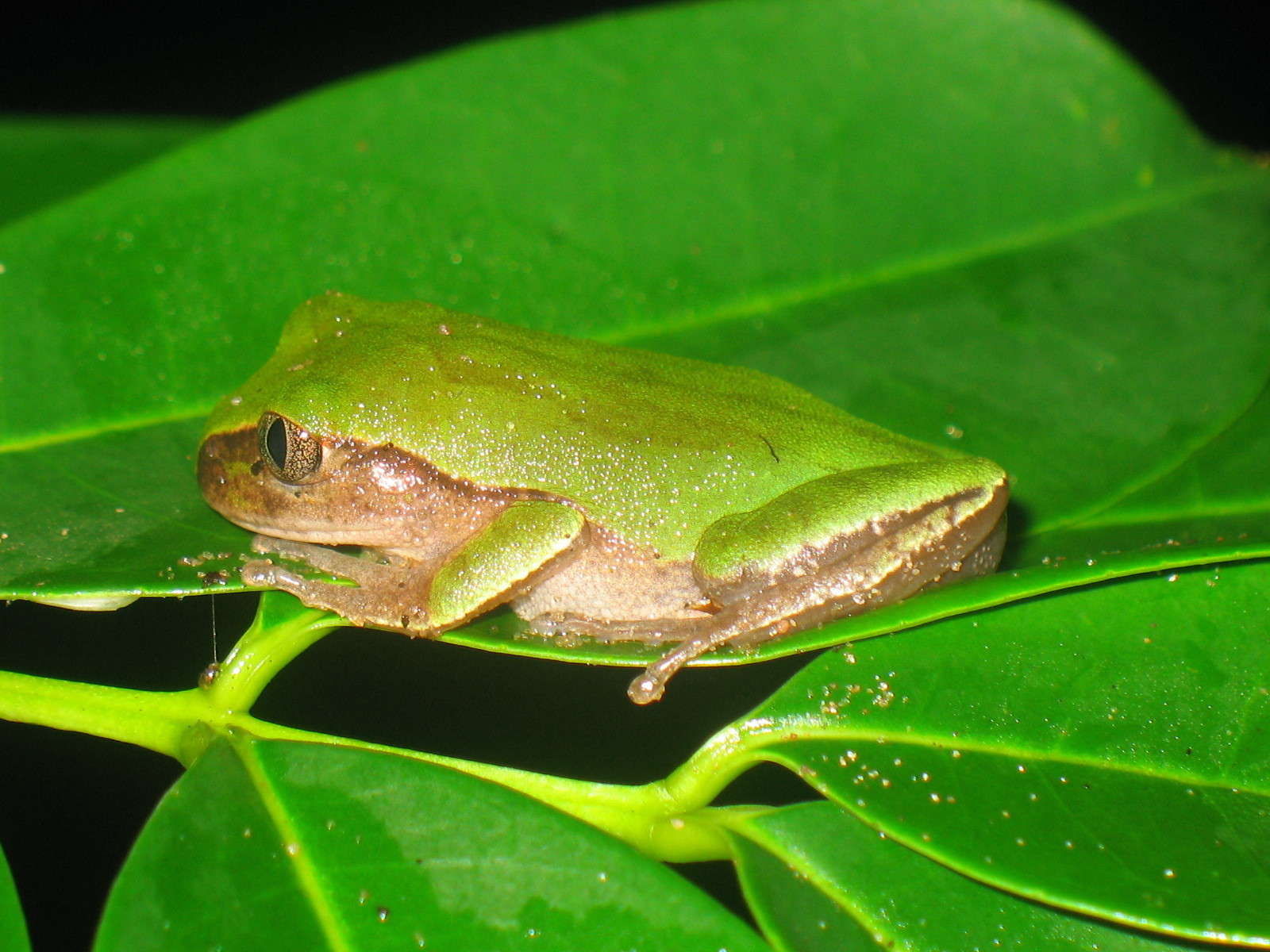Image of Rusty Forest Treefrog