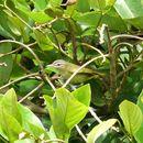 Sivun keltaperävireo kuva