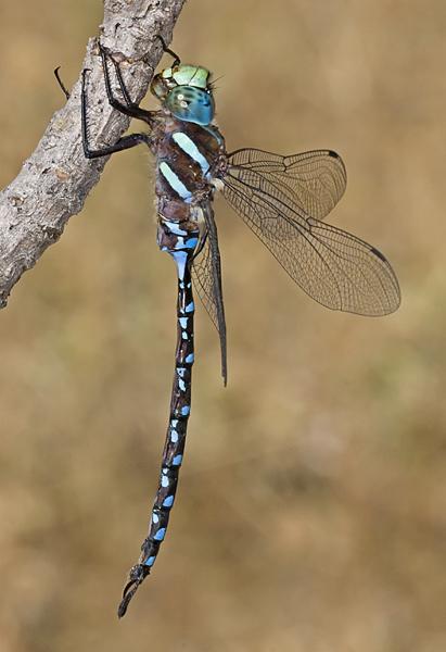 Image of Black-tipped Darner