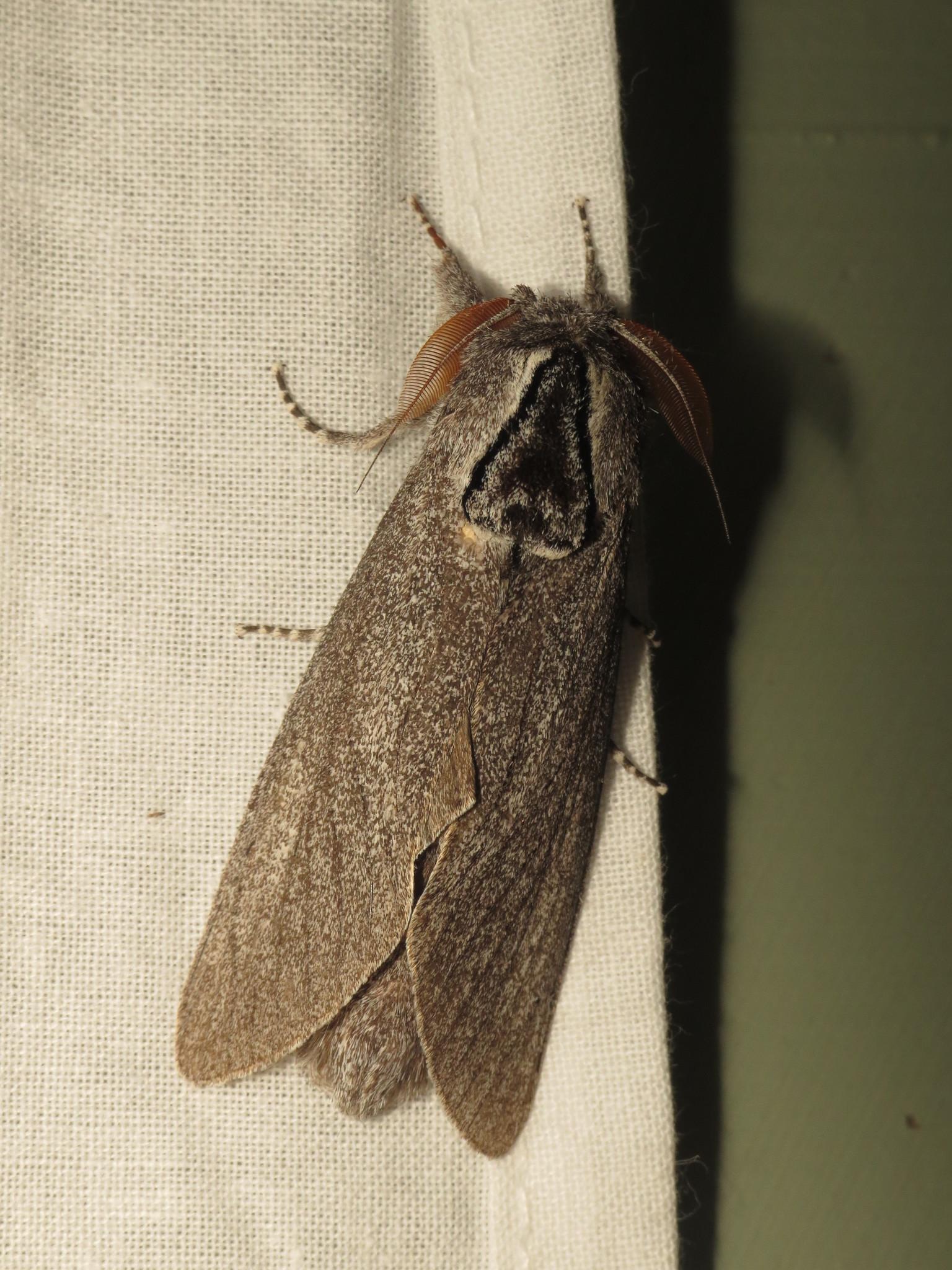 Image of <i>Endoxyla cinereus</i> (Tepper 1890)