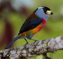 Image of Toucan Barbet