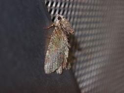Image of <i>Dindica olivacea</i> Inoue 1990