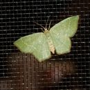 Image of Pistachio Emerald Moth