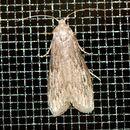 Image of American Wax Moth