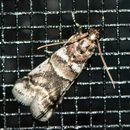 Image of Leaf Crumpler Moth