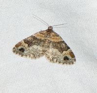 Image of Red Twin-spot